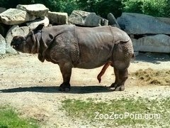 Crazy big rhinos are having amazing sex